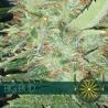 Big Bud | Feminised, Indoor & Outdoor