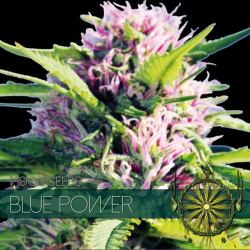 Blue Power | Feminised, Indoor & Outdoor