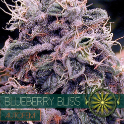 Blueberry Bliss | Feminised, Auto, Indoor & Outdoor