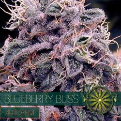 Blueberry Bliss | Feminised, Auto, Indoor & Outdoor