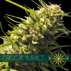 Critical Impact | Feminised, Indoor & Outdoor