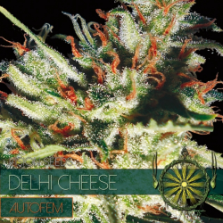 Delhi Cheese | Feminised, Auto, Indoor & Outdoor