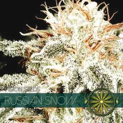 Russian Snow | Feminised, Indoor & Outdoor