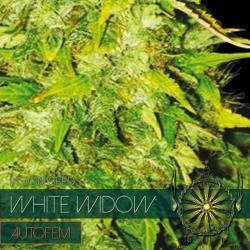 White Widow | Feminised, Auto, Indoor & Outdoor