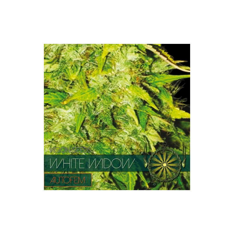 White widow feminised auto indoor outdoor for Autofloraison interieur