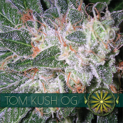 Tom Kush OG | Feminised, Indoor & Outdoor