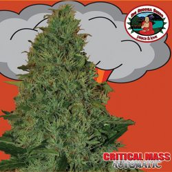 Critical Mass Automatic | Feminised, Auto, Indoor & Outdoor