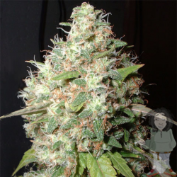 Bubble Cheese | Feminised, Indoor