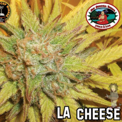 L.A. Cheese   Feminised, Indoor & Outdoor