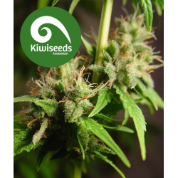 Auto Mako | Feminised, Auto, Indoor & Outdoor