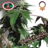 Buddha Kush OG | Feminised, Indoor & Outdoor