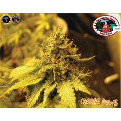 Cheese Dawg | Feminised, Indoor & Outdoor