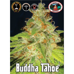 Buddha Tahoe | Feminised, Indoor & Outdoor