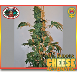 Cheese Automatic | Feminised, Auto, Indoor & Outdoor
