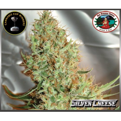 Silver Cheese | Feminised, Indoor & Outdoor