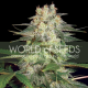 Afghan Kush Ryder   Feminised, Auto, Indoor & Outdoor