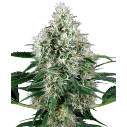 PPP (Pure Power Plant) | Feminised, Auto, Indoor & Outdoor