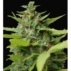 Kiss Dragon | Feminised, Indoor & Outdoor