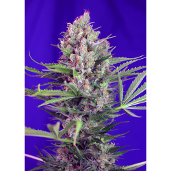 Cream Mandarine - Fast Version | Feminised, Indoor & Outdoor