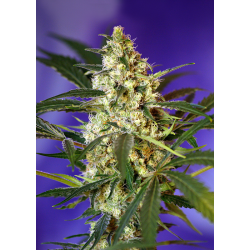 Fast Bud Nr 2 | Feminised, Auto, Indoor & Outdoor