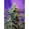Sweet Special | Feminised, Auto, Indoor & Outdoor