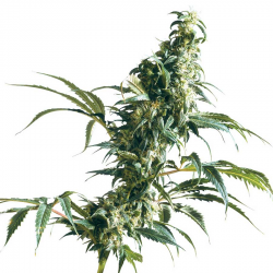 Mexican Sativa | Feminised, Outdoor