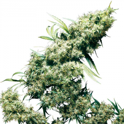 Jamaican Pearl | Feminised, Outdoor