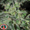 Double Cheese | Feminised, Indoor & Outdoor