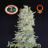 Hindu Cream | Feminised, Indoor & Outdoor