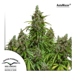 Auto Mazar | Feminised, Auto, Indoor & Outdoor