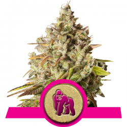 Royal Gorilla | Feminised, Indoor & Outdoor
