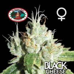 Black Cheese | Feminised, Indoor & Outdoor