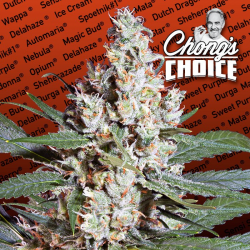 L.A. Amnesia (Chongs Choice) | Feminised, Indoor & Outdoor