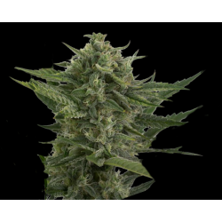 Auto Reek'n | Feminised, Auto, Indoor & Outdoor