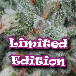 Sweet-O LE | Feminised, Indoor & Outdoor