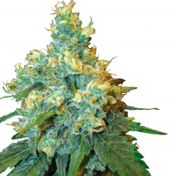 Jack Herer | Feminised, Indoor & Outdoor