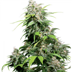 California Indica | Feminised, Indoor & Outdoor