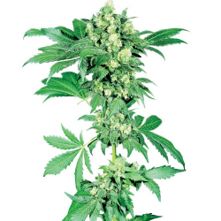 Afghani 1 | Feminised, Indoor & Outdoor