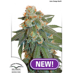 Auto Orange Bud | Feminised, Auto, Indoor & Outdoor