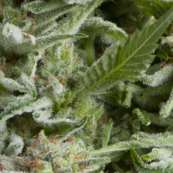 Auto Alpujarreña | Feminised, Auto, Indoor & Outdoor