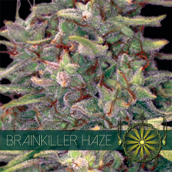 Brainkiller Haze | Feminised, Indoor & Outdoor