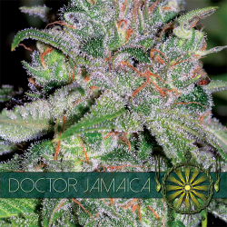 Doctor Jamaica | Feminised, Indoor & Outdoor