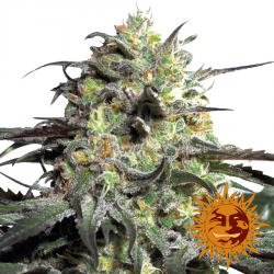 Peyote Cookies Limited Edition | Feminised, Indoor & Outdoor