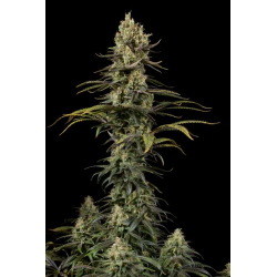 Early Amnesia CBD | Feminised, Indoor & Outdoor