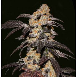 French Cookies | Feminised, Indoor & Outdoor