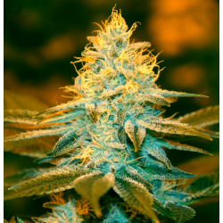 Strawberry Glue | Feminised, Indoor & Outdoor