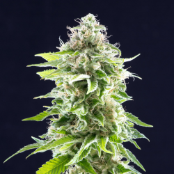 Cookies Haze | Feminised, Indoor & Outdoor