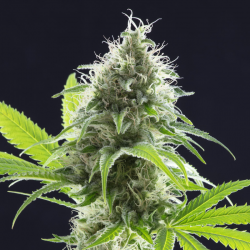 Kama Kush CBD | Feminised, Indoor & Outdoor
