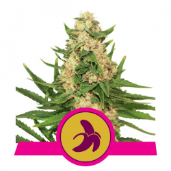 Fat Banana | Feminised, Indoor & Outdoor