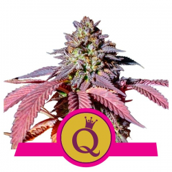 Purple Queen | Feminised, Indoor & Outdoor